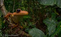 Gladiator tree frog (Hypsiboas rosenbergi) (Ville.V.) Tags: gladiator tree frog hypsiboas rosenbergi choco ecuador wild wildlife herping herpetology