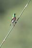 DSC_9075 (mylesm00re) Tags: africa capetown cinnyrischalybeus kirstenboschnationalbotanicalgarden kleinrooibandsuikerbekkie nectariniidae southafrica southerndoublecollaredsunbird sunbirds westerncape za