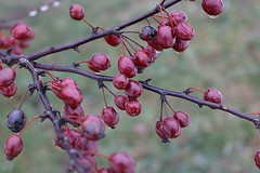 Crabapples With Rain Drops 005 (Chrisser) Tags: weather rain raindrops trees tree fruit crabapples rosaceae nature ontario canada canoneosrebelt6i canonefs1855mmf3556isstmlens