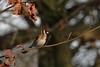 Goldfinch (david.england18) Tags: goldfinch smallbirds various tits blue coal great longtailed queensparkheywood canon7d canonef300mmf4lisusm birdsuk