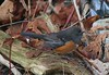 Spotted Towhee (Terrance Carr) Tags: 201446 brunswick ferry dncb terry carr terrycarr 20141119 2014 november