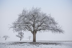 big Boss (SonjaS.) Tags: nebel schnee winter bäume baum bigboss birnenbaum foggy tree sonjasayer canon6d