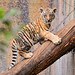 Tiger cub on the log