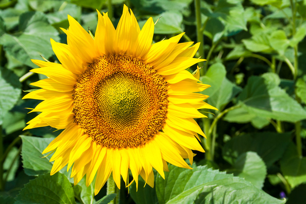 summer sunflowers andrea - photo #12