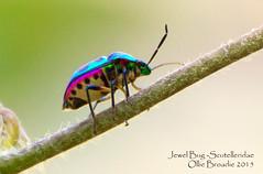 scutelleridae-Jewel-bug (olliebroadie) Tags: bug thailand jewel jewelbug scutelleridae shieldbackedbug metallicshieldbug