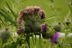 hairy and prickly (Snoek2009) Tags: hairy flower nature thistle prickly citrit