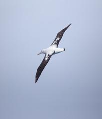 Wandering Albatross (RedAbbott) Tags: wandering albatross diomedea exulans
