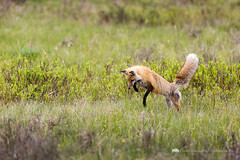 Red Fox Pouncing (Free Roaming Photography) Tags: usa west animal fur mammal nationalpark jump jumping montana wildlife air hunting attack meadow fox western yellowstonenationalpark northamerica yellowstone midair wyoming pounce graceful hunt attacking redfox pouncing cookecity