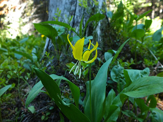 Little Arethusa Hike - Glacier Lilies surprised us so late in the season