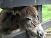 clare 113editC (barry.oshea) Tags: ireland sea white black water clare donkey ennistymon lehinch