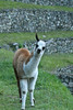 Baby llama (winslowdl) Tags: peru inca llama trail 2015 wayna winaywayna wiñay