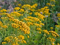 Tansies (Joe Thomissen) Tags: yellow wildflower tansy boerenwormkruid joethomissen