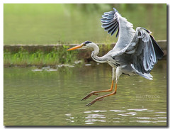 Grey Heron Landing (magforce) Tags: heron japanesegarden singapore naturephotography wildbirds wildlifesingapore singaporepark birdsphotography