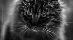 Emprise..... (Pilouchy) Tags: emprise cat chat animal felin eyes yeux regard lumiere life vie monochrome blackandwhite portrait free wild noir