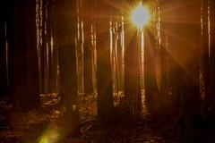 another sunset in the forest (Bea Antoni) Tags: bume baum landschaft landscape licht light canon gold sonnenuntergang sunlight sonnenlicht wald forest trees tree sunset