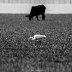 Black & White (Galib Emon) Tags: monochrome outdoor water caw littleegret canon eos 7d ef75300mm f456 usm copyright galib emon squareframe landscape photographyandart blackandwhite square format photography chittagong bangladesh seaside field