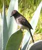 Common Bulbul (Pycnonotus barbatus) (SteveInLeighton's Photos) Tags: morocco marrakesh marrakech bulbul majorelle 2005 september birds