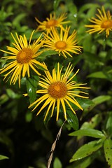 IMG_2040 (pavel B.) Tags: flowers nepal