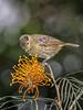 Macleay's Honeyeater (Xanthotis macleayanus) (Arturo Nahum) Tags: australia aves animal arturonahum ave birdwatcher bird birds wildlife wild outdoor macleayshoneyeater xanthotismacleayanus