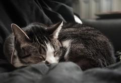 (wearerisendead) Tags: cat cats kitty feline cute pet pets animal