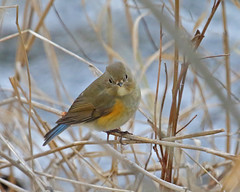 Red-flanked Bluetail (Keith Carlson) Tags: redflankedbluetail tarsigercyanurus