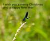 Merry Christmas (RGaenssler) Tags: arthropoda calopterygidae calopterygoidea calopteryx calopteryxsplendens caloptéryxspendide caloptéryxéclatant floraundfauna fluginsekten gebänderteprachtlibelle gliederfüser hexapoda insecta insekten kleinlibellen libellen odonata prachtlibellen pterygota sechsfüser tiere tracheata tracheentiere zygoptera bandeddemoiselle