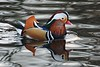 Male Mandarin duck (Aix galericulata) (Jeff G Photo - 2m+ views! - jeffgphoto@outlook.com) Tags: regentspark aixgalericulata mandarinduck bird duck ducks water