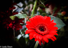 Gerbera (judy dean) Tags: judydean 2017 sonya6000 flower gerbera red bunchofflowers lr nik