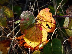2016-12-27 Beaurepaire (85)dead leaf (april-mo) Tags: leaves leaf feuille frosted frost gel deadleaves autumnleaves sunlight