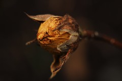 end of year (notpushkin) Tags: rose yellow gelb winter