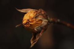end of year (notpushkin) Tags: rose yellow gelb winter