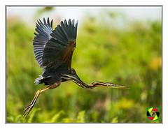 Purple Heron Takes Flight (Crested Aperture Photography) Tags: purpleheron ardeapurpurea uccello mabambaswamp uganda ug ramsarsite ramsar flight heron pássaro aves greatnature crestedaperture animalplanet nikon500mmf4 nikond810