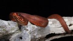 Mangrove Salt Marsh Snake (Nerodia clarkii compressicauda) (Ian Deery) Tags: keys mangrove salt marsh saltmarsh snake nerodia clarkii compressicauda water brackish herp herping ian deery sony a55 1855 florida