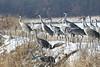 Friends are the sunshine of my life! (Laura Rowan) Tags: bird sandhillcranes snow cold winter birding cranes jasperpulaski