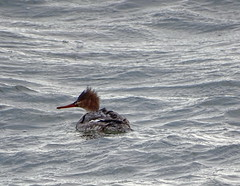 RBME DSC03325 (clausholzapfel) Tags: redbreasted merganser bird