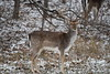 Fallow Deer_4309 (Porch Dog) Tags: 2017 garywhittington kentucky nikond750 fx nikon200500mm wildlife nature animal outdoors deer fallow buck stag antlers rack snow lbl landbetweenthelakes fallowdeer betweentherivers