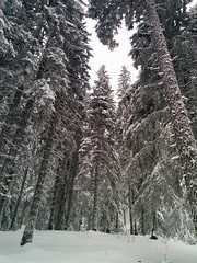 Let this Year begin with snow days* (Maria Emma.) Tags: snow snowshower tree trees white bulgaria pamporovo 52weeks 152 2017 outdoor conifer plant