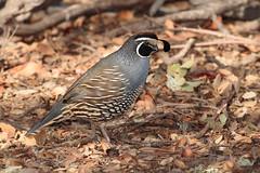 California Quail (Callipepla californica), Atascadero, California (kmalone98) Tags: californiaquail callipeplacalifornica odontophoridae wildlife woodpartridges aves