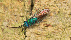Chrysis ignita (a Ruby-tailed Wasp) 1d (Jonathan (chirpy)) Tags: ruby wasp insect canon 70d mpe 65mm mt24ex flash macro wildlife nature berkshire uk twyford