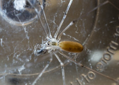 Pholcus phalangioides (cellar spider) 2 (NeuroNeuroNeuro) Tags: pholcus phalangioides cellar spider canon sony 100mm macro a6300 handheld