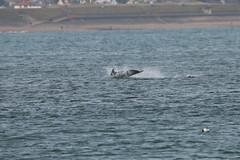 IMG_5623 (monika.carrie) Tags: monikacarrie wildlife scotland aberdeen dolphins dolphin cetacean mammal