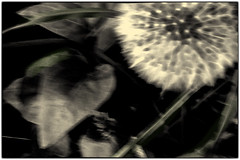 dandelion (1911terryjpratt) Tags: fineart photography dandelion plants abstract nature outdoors grass leafs leaves bw flowers macro wildlife landscape spring trees photo border green