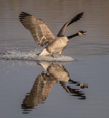 Canada Goose (Jan Crites) Tags: iowa leclaire nature river mississippiriver lockanddam14 goose canadagoose reflection jancritesphotography february