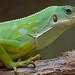 Fiji banded iguana (Brachylophus fasciatus)