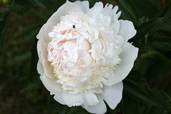 Peony In Bloom 006 (Chrisser) Tags: flowers ontario canada nature garden spring gardening fourseasons closeups peonies paeonia paeoniaceae lens00025 canoneosrebelt1i canonefs60mmf28macrousmprimelens
