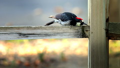 Acorn Woodpecker (Jodi Newell) Tags: california red nature birds animal canon outdoors wildlife calif acornwoodpecker irvineregionalpark jodinewell