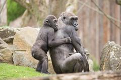 2015-05-27-14h32m14.BL7R0199 (A.J. Haverkamp) Tags: germany zoo gorilla muenster nordrheinwestfalen mnster munster dierentuin changa demba westelijkelaaglandgorilla canonef100400mmf4556lisusmlens pobfrankfurtgermany dob09061996 httpwwwallwetterzoode pobmnstergermany dob13012013 changamadi