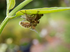 Flies having a cuddle (jintysworld) Tags: garden flies scathophagastercoraria