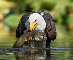 Look What I Found! (ken.helal) Tags: 20150703eagles