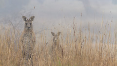 Two in the Fog (Simon Cooke-Russell) Tags: portrait nature animal animals fog fauna portraits sunrise canon amazing wildlife australian sigma australia adobe kangaroo canberra aussie kangaroos lightroom nativespecies australianwildlife kambah canon7d sigma150500